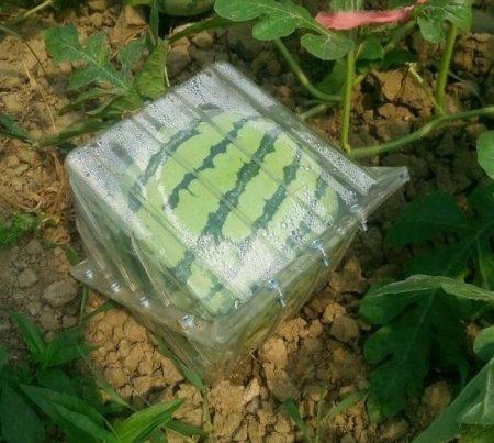 как вырастить квадратный арбуз