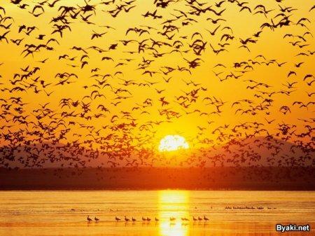 перелет птиц
