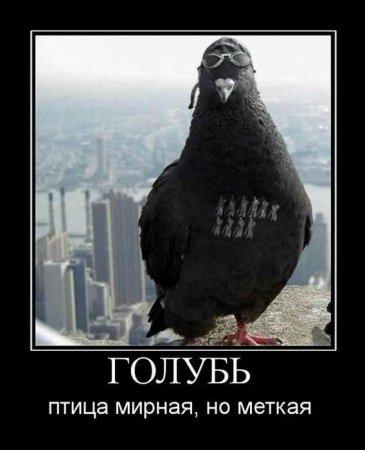 меткий голубь