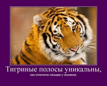 тигриные полосы