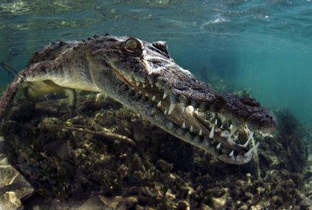зубастый крокодил