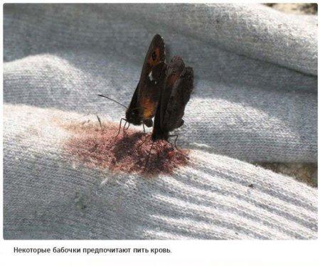 кровожадные бабочки