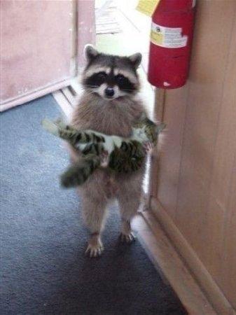 енот с котом