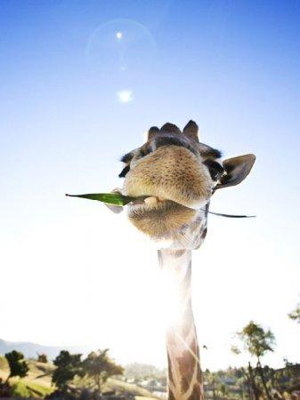 кушающий жираф