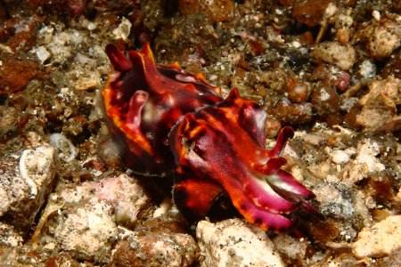 красный молюск
