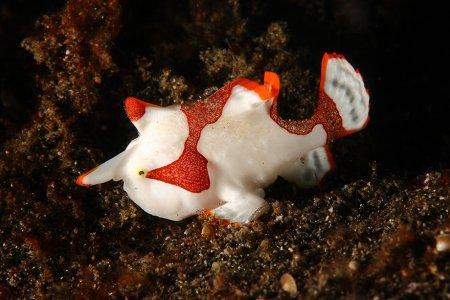 красно-белая рыба