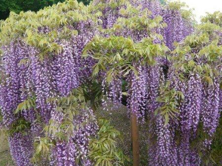 сиреневое цветущее дерево