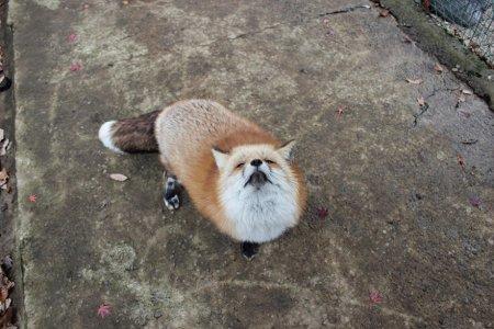 шикарная лисица