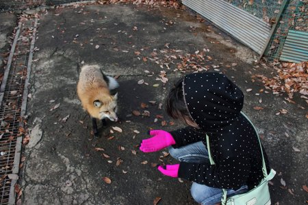ручная лисичка