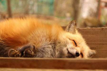 лисица спит