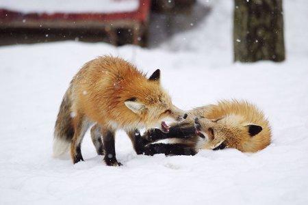 игры лисиц