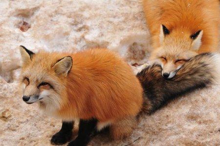 кусючая лисичка