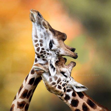 пара жирафов
