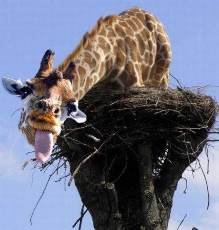 жираф в гнезде