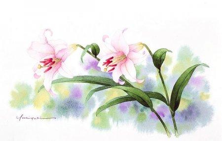 Розовая лилия
