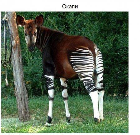 окапи