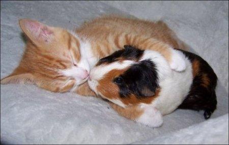 Морская свинка и кот