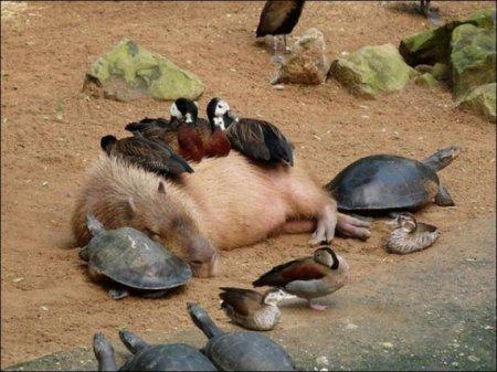 Вомбат, черепаха и уточки