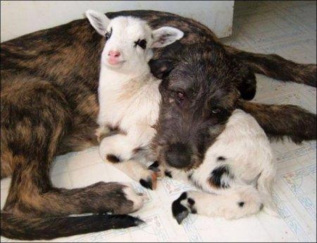 Ягненок и собака