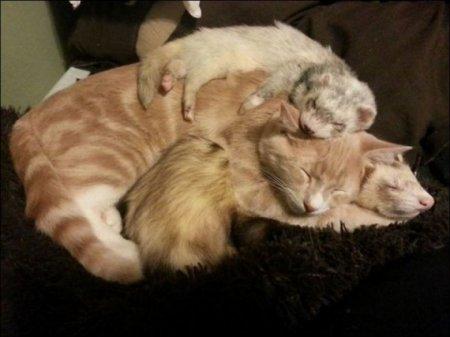 Два хорька и кот