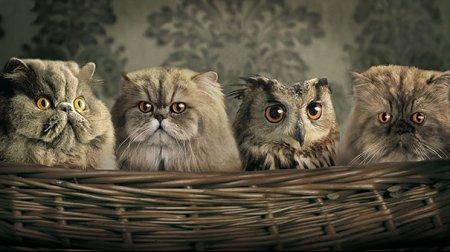 Сова и коты