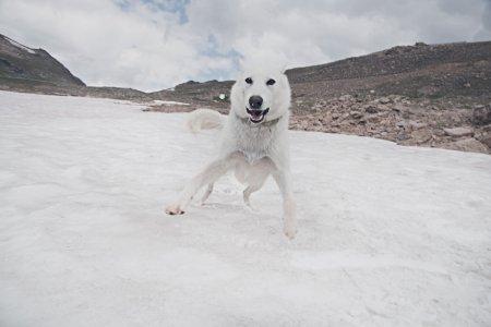 белая собака на льду