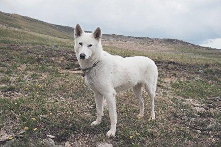 красивая белая собака