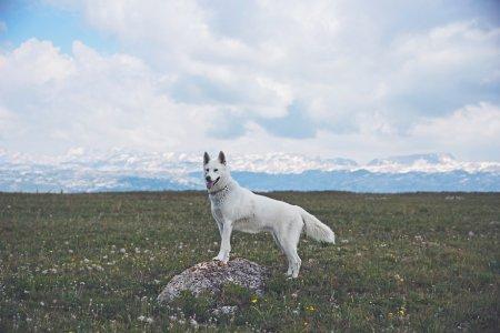 белоснежный пес