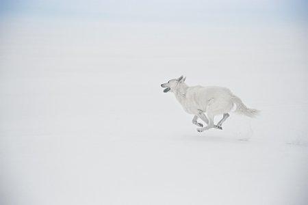 белоснежная собака на снегу