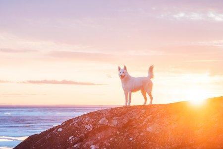 собака как волк