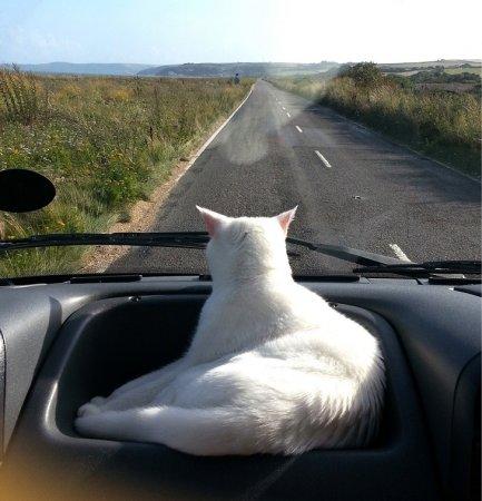 белая кошка следит за дорогой