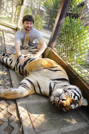ласковый тигр