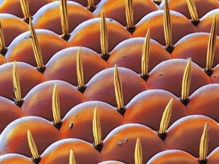 Глаз фруктовой мухи под микроскопом