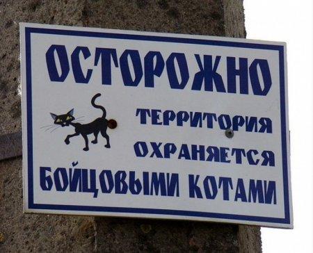 бойцовские коты