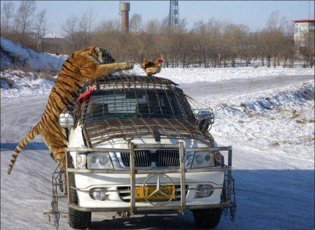 тигр выбежал неожиданно