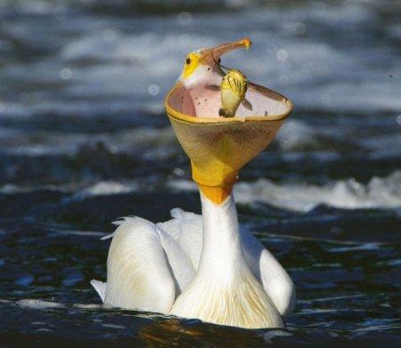 пеликан поймал рыбку