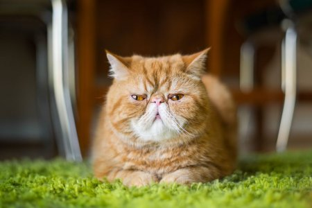 грозный кот