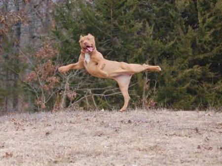 прыжок собаки