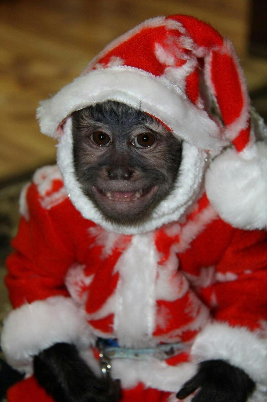 Прикольные картинки с обезьянами с новым годом