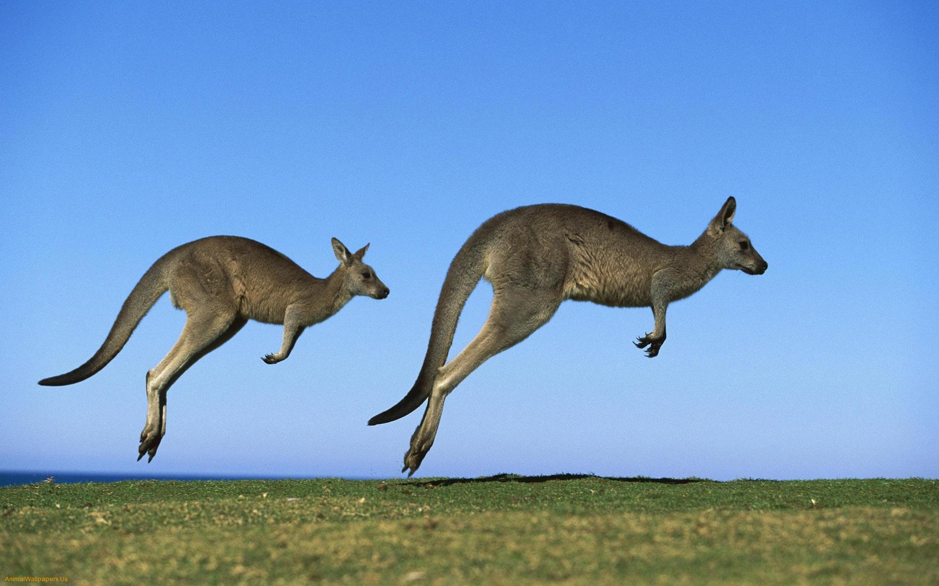 Сколько у кенгуру вагин 13 фотография