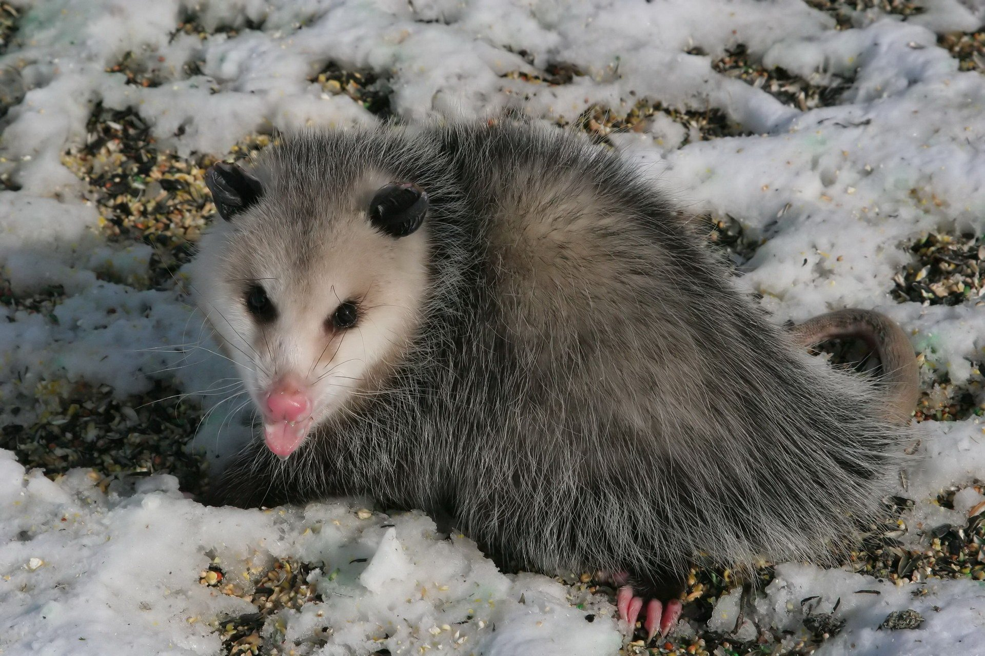 Possums Compared to Opossums Whats the Difference