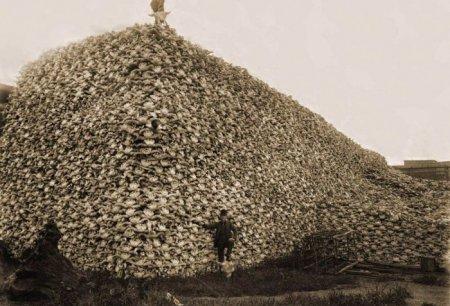 Бизоньи головы, собранные на удобрения, 1870 г.