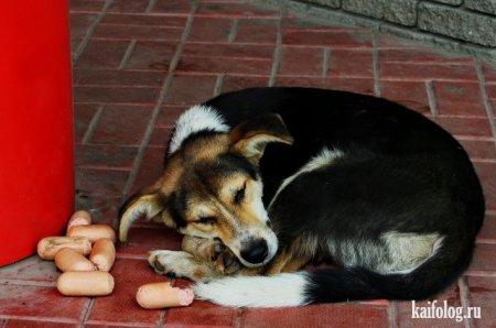 сытая собака