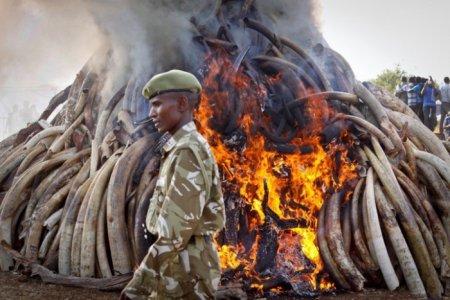 15 тонн незаконно добытой браконьерами слоновой кости сожжено кенийскими властями. Страшно представить, какое количество слонов было убито ради этих бивней
