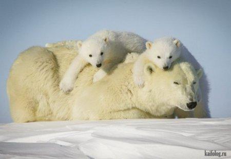 белая медведица с малышами