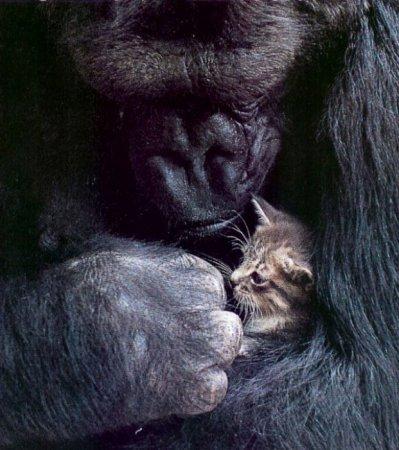 """Горилле Коко на день рождения подарили живого котёнка, в которого она сразу влюбилась. На своём языке жестов она называла его чем-то вроде """"круглый""""."""