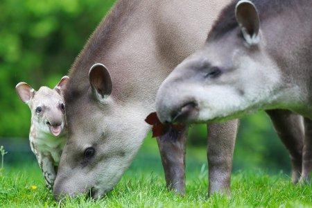 семья тапиров