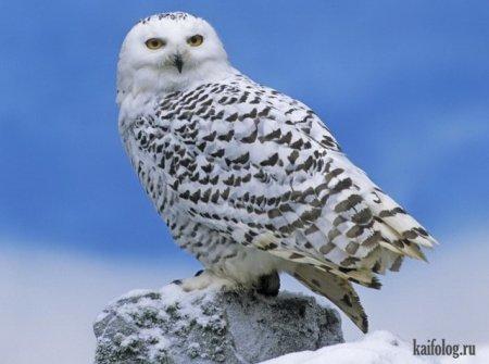 прекрасная сова