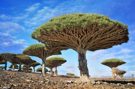 Драконово дерево, Йемен