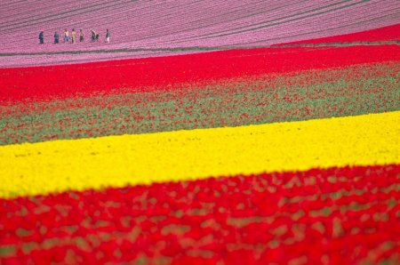 Поля тюльпанов в Лиссе, Нидерланды